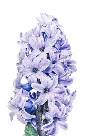 big beautiful purple hyacinth with raindrops isolated on white background closeup