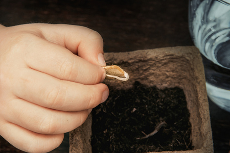the hand of the child holds a germinated seed of a vegetable marrow and lowers it to the earth which is in a peat pot, a close up
