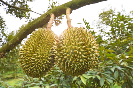 Durian tree, Fresh durian fruit on tree