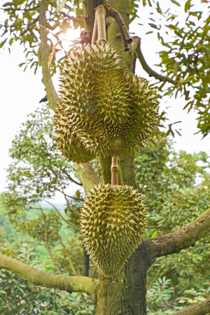 Fresh durian on tree in the orchard at Thailand Stock Photo