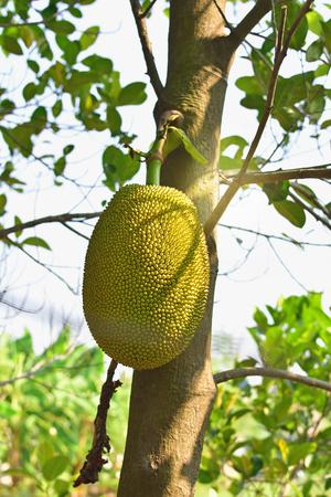 Jackfruit On the tree in Thailand Stock Photo