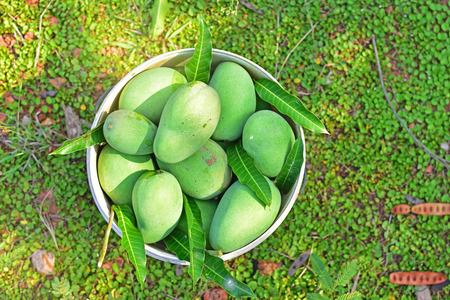 Green mango harvest in mango plantation in Thailand Stock Photo