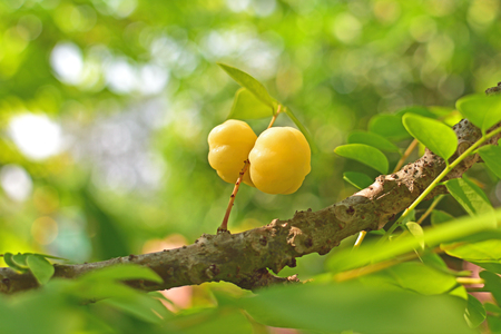 Closeup star gooseberry at branch of tree beautiful fruit in tropical country Thailand and Asian Stock Photo