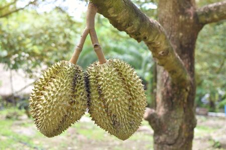 Durian trees in the farm in Thailand