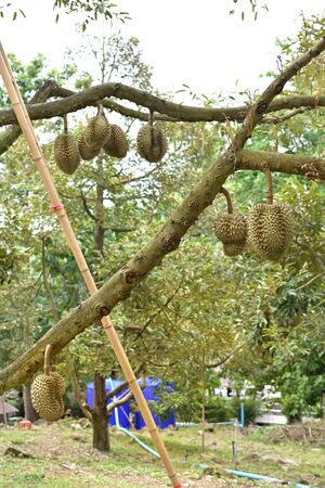 Durian fruit on tree in orchard