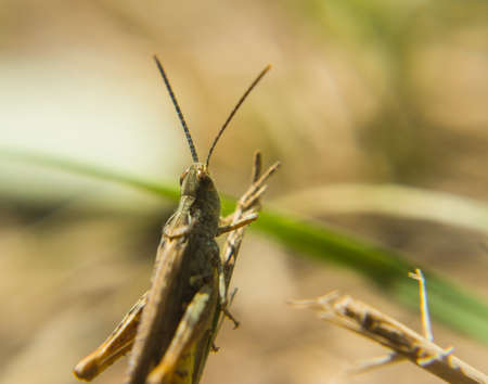 Grasshopper in the grass macro photo
