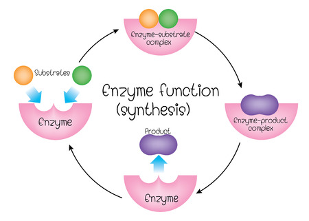 enzyme function Vectores