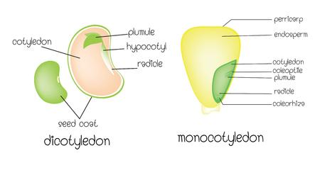dicotyledon vs monocotyledon