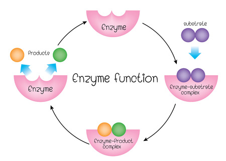 enzyme function Vettoriali