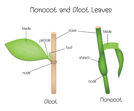 Monocot and Dicot Leaves Illustration