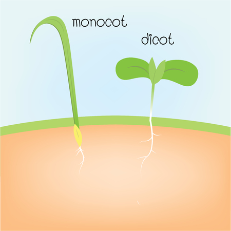 monocot and dicot