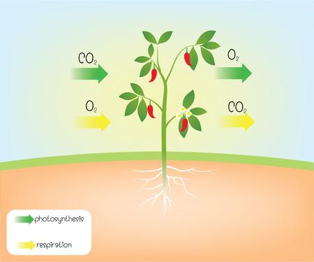 Photosynthese und Atmung Vektorgrafik