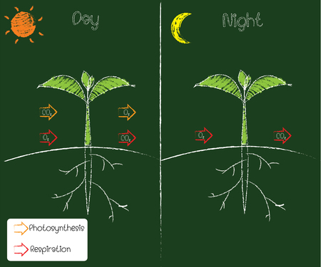 photosynthesis and respiration Vector Illustration