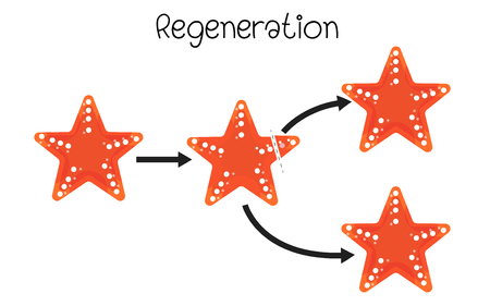 Regenaration  in starfish