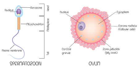 Structure of egg and sperm
