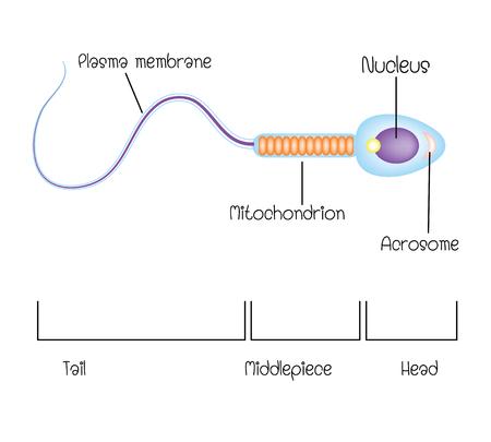 estructura de un espermatozoide Ilustración de vector