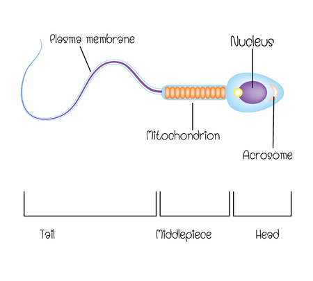 structure of a sperm cell Illustration