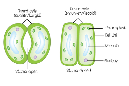 Structure of stoma open and stoma closed
