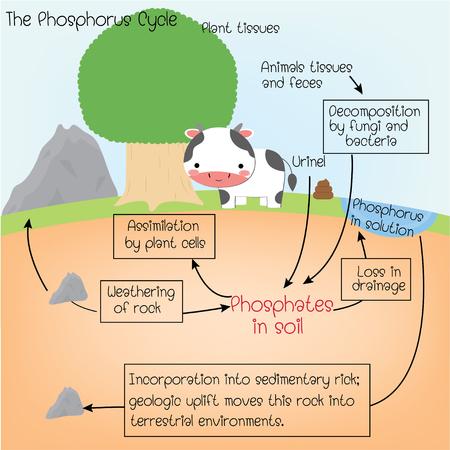 the phosphorus Cycle Illustration