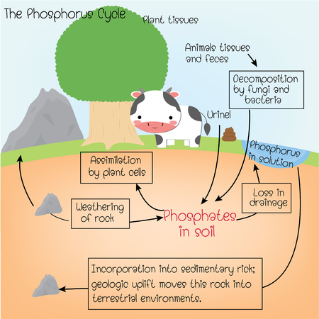 the phosphorus Cycle 向量圖像