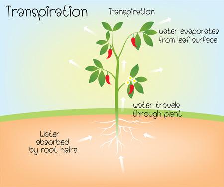 transpiración