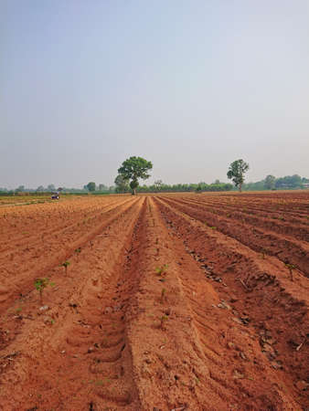Cassava farm countryside agriculture dry Stock Photo