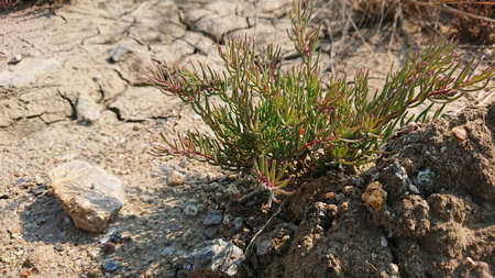 Suaeda maritima herd food coast plant