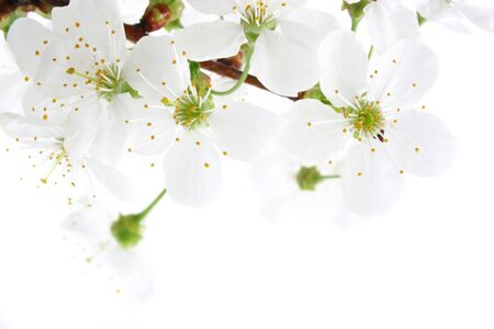 cherry blossom isolated