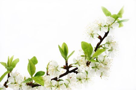 cherry blossom isolated Stock Photo - 393679