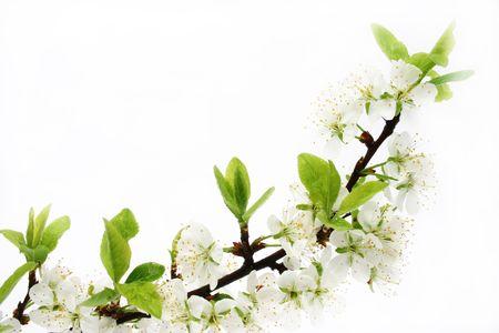 wiśnia kwiat odizolowanych Zdjęcie Seryjne