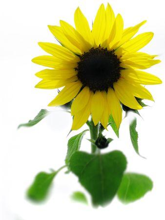 Beautiful sunflower Stock Photo - 393612