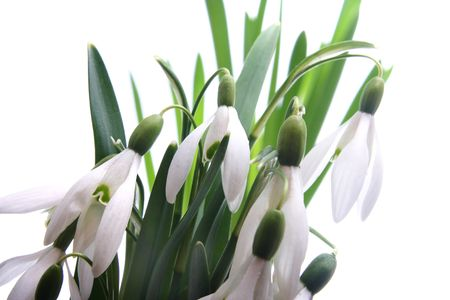 early snowdrops in spring on white background photo