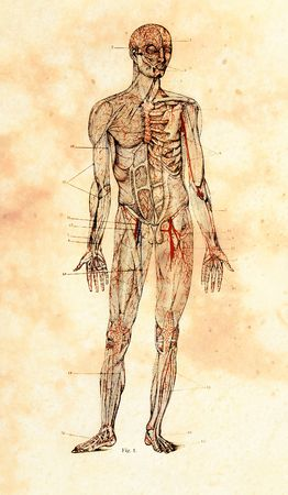 anatomical model: old anatomical model drawing on vintage paper Stock Photo