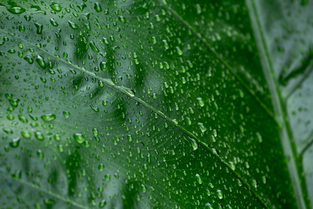 Water drops on green leaves, natural, refreshing, rainy season in Thailand.