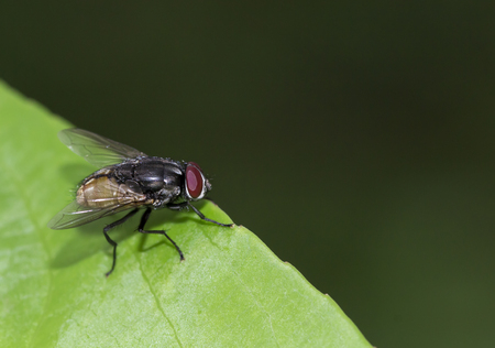 Image of a fly, macro image, close up Stock Photo