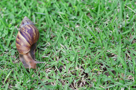 Snail on green grass, crawling slowly, reptile