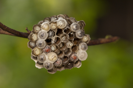 Macro image of wasp's nest have larva are incubated on green background Archivio Fotografico