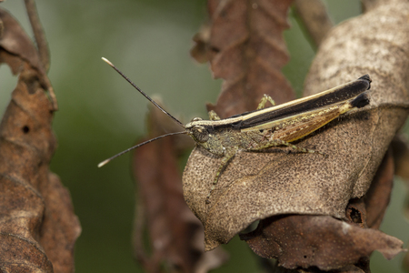 The image of the brown  Grasshopper in Thailand.(Choroedocus violaceipes),Cassava Grasshopper.