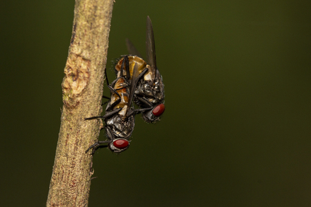 Macro shot of mating flies on green leaf, close-up shutter tow mating fly Zdjęcie Seryjne