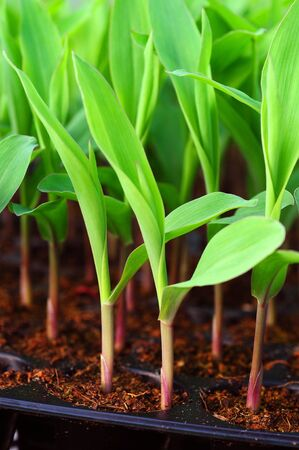 Young green corn, maize, sweet corn seedling in pod for experiment Stock Photo - 16302171