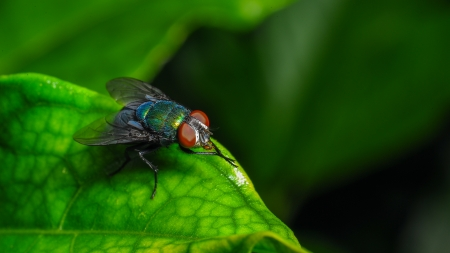 musca domestica: Single red eyed fly on leaf macro close up shot  Stock Photo