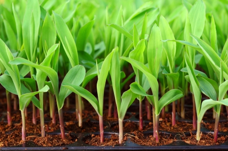 Young green corn, maize, sweet corn seedling in pod for experiment   Stock Photo