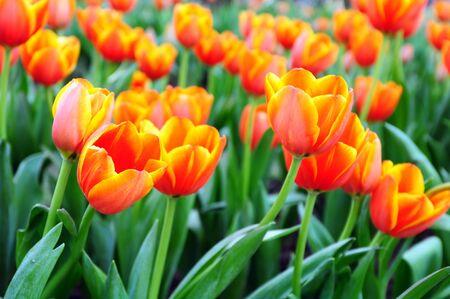 Beautiful orange tulip flower