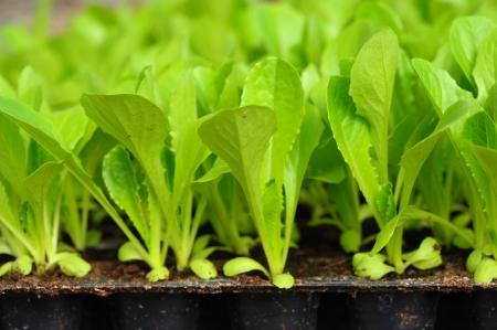 Green lettuce seedling  food and vegetable background
