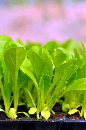 Verde comida muda de alface e fundo vegetal