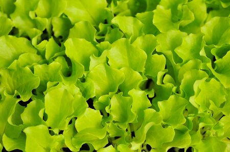 Green lettuce seedling  food and vegetable background   photo