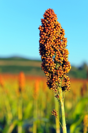 Close up of sorghum in morning sun light   Stock Photo