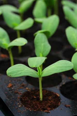 Melon, cucumber or cucumbid seedling in pod or plastic tray