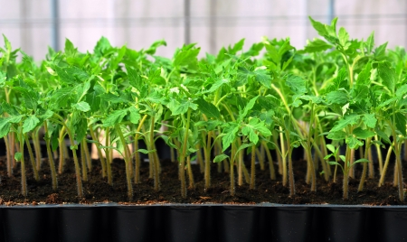 Tomato seedling in plastic tray  14 day after sowing