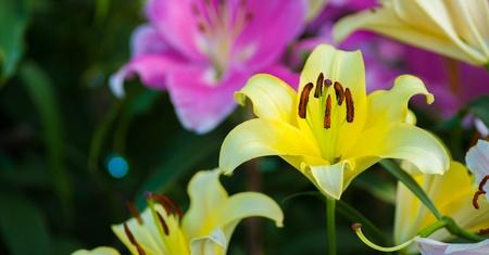 Lilly flores no jardim closeup Banco de Imagens